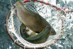 trout fish in pakistan